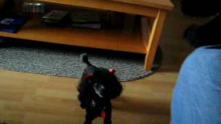Poodle Jealous Of Stuffed Animal