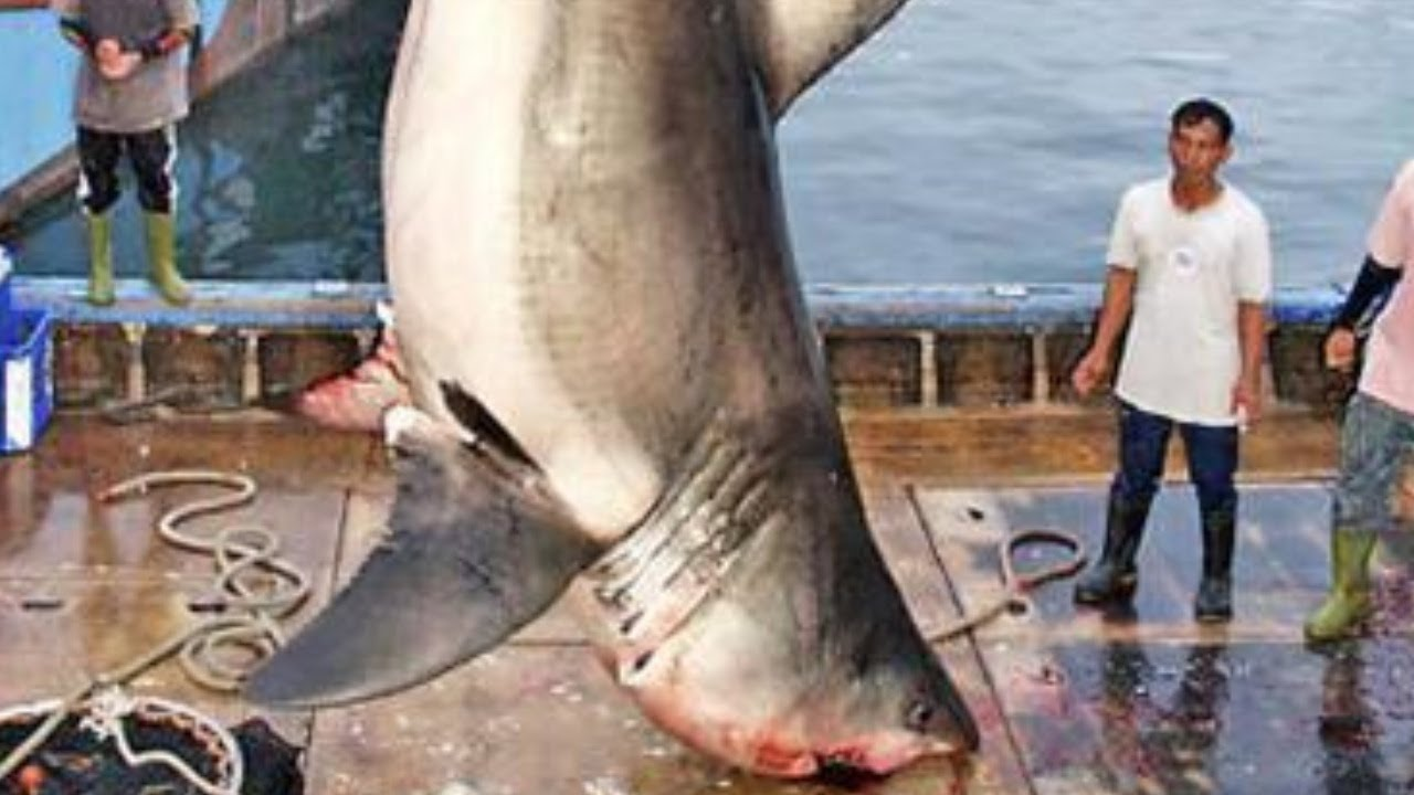The biggest shark ever caught