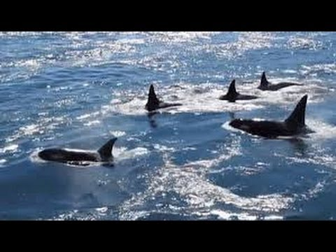 Orcas in Active Pass, Galiano Island BC - Canada (wow!)