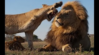 Животные мира Ночь львов Зрение хищника в темноте Уверенность больших кошек Самый сильный и коварный