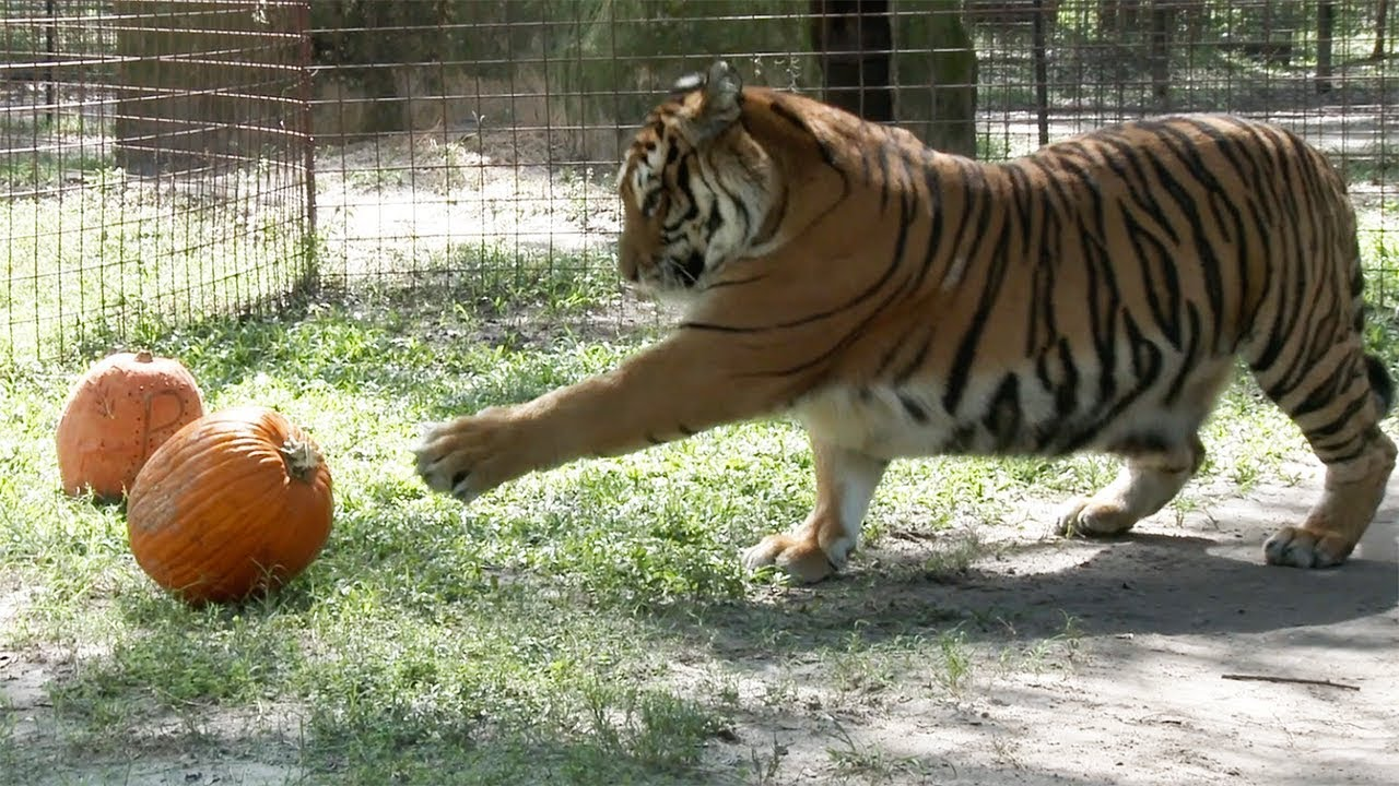 Youtube Big Cat Rescue Pumpkin