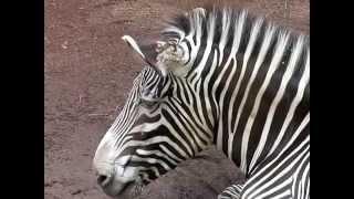 理科とか苦手で「多摩動物公園2012.8(7) グレビーシマウマ シロオリック...