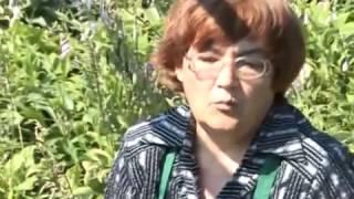 Пересадка пионов. Как правильно садить пионы(Из этого видео Вы узнаете как правильно пересаживать пионы. Все тонкости пересадки и выращивания пионов...., 2014-04-29T04:55:07.000Z)