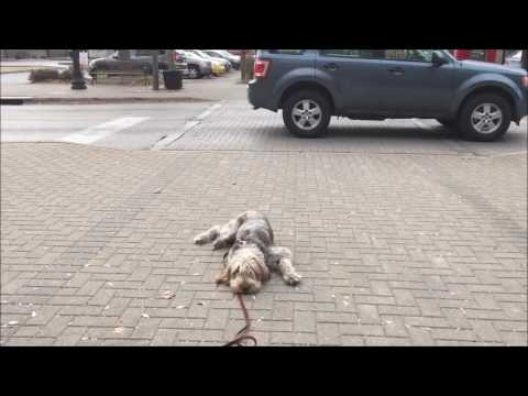 Spinone Italiano McDuff's Board & Train: Cincinnati Dog Trainers Off Leash K9