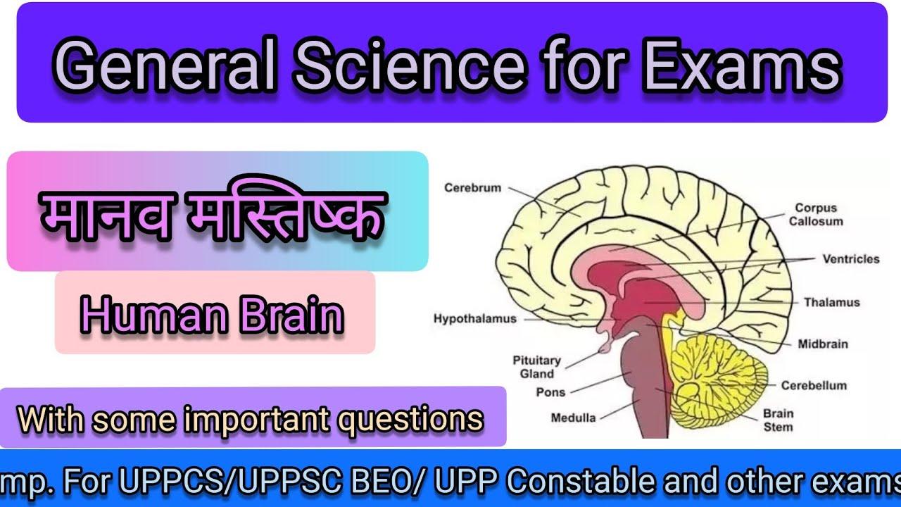 Human brain (मानव मस्तिष्क) parts and functions in hindi ...