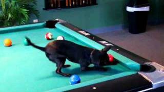 Chihuahua Dog Playing Pool - Amadeus