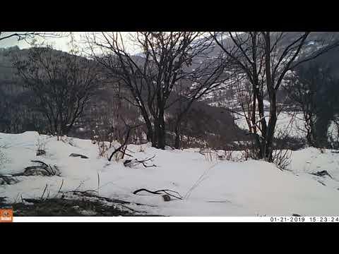 Vulpe în Munții Metaliferi
