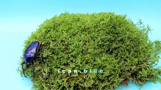 Dicronorhina micans deep blue
