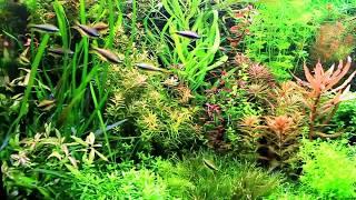 Aquariumpflanzen / Wasserflora in einem 576l Aquarium