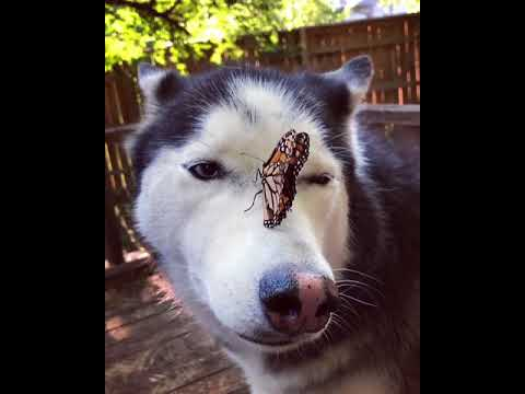 Kevin Johnson - Butterfly Lands On Husky!