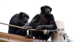 2018/10/16 チンパンジー ゴリラもチンパンジーも黒いので白飛び黒つぶ...
