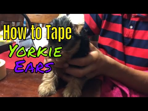 How To Tape Yorkie Ears | CENTEX YORKIES | Austin, Texas