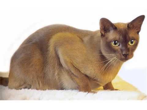Burmese - Cat Pictures