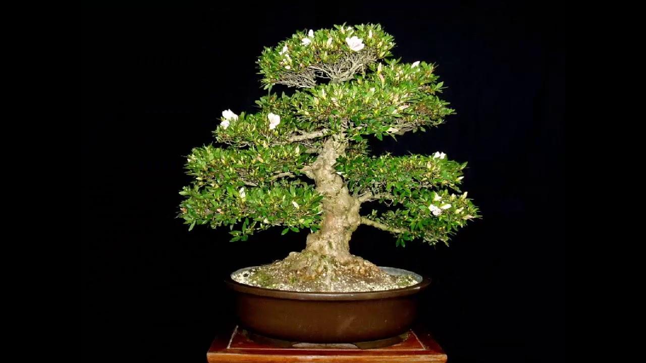 Miniature Japanese Bonsai Tree Mei 2018 1