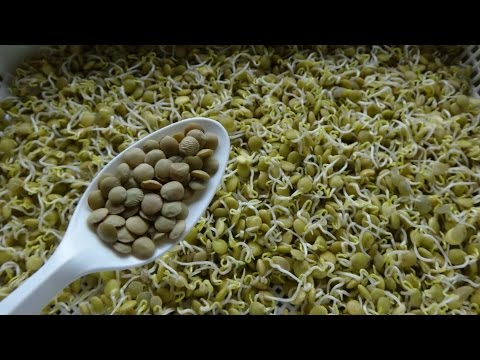 How to Sprout Lentils - Cheap Easy and Quick Method
