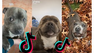 Funny and Cute Staffordshire Bull Terrier Dogs and Puppies TikTok Compilation