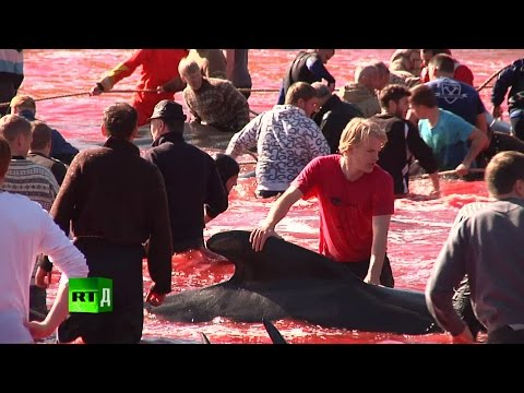 Red Waters: ancient tradition of pilot whales slaughter in t