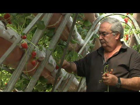 באמצע הקיץ: החקלאי שמגדל תותים בגליל