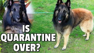 Is Quarantine Over? | Day in the Life on a Belgian Shepherd Dog