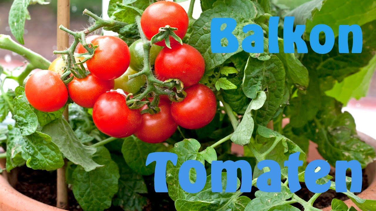 tomaten kweken op het balkon youtube. Black Bedroom Furniture Sets. Home Design Ideas