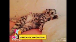 Моя шотландская-вислоухая кошка по имени Ксюша