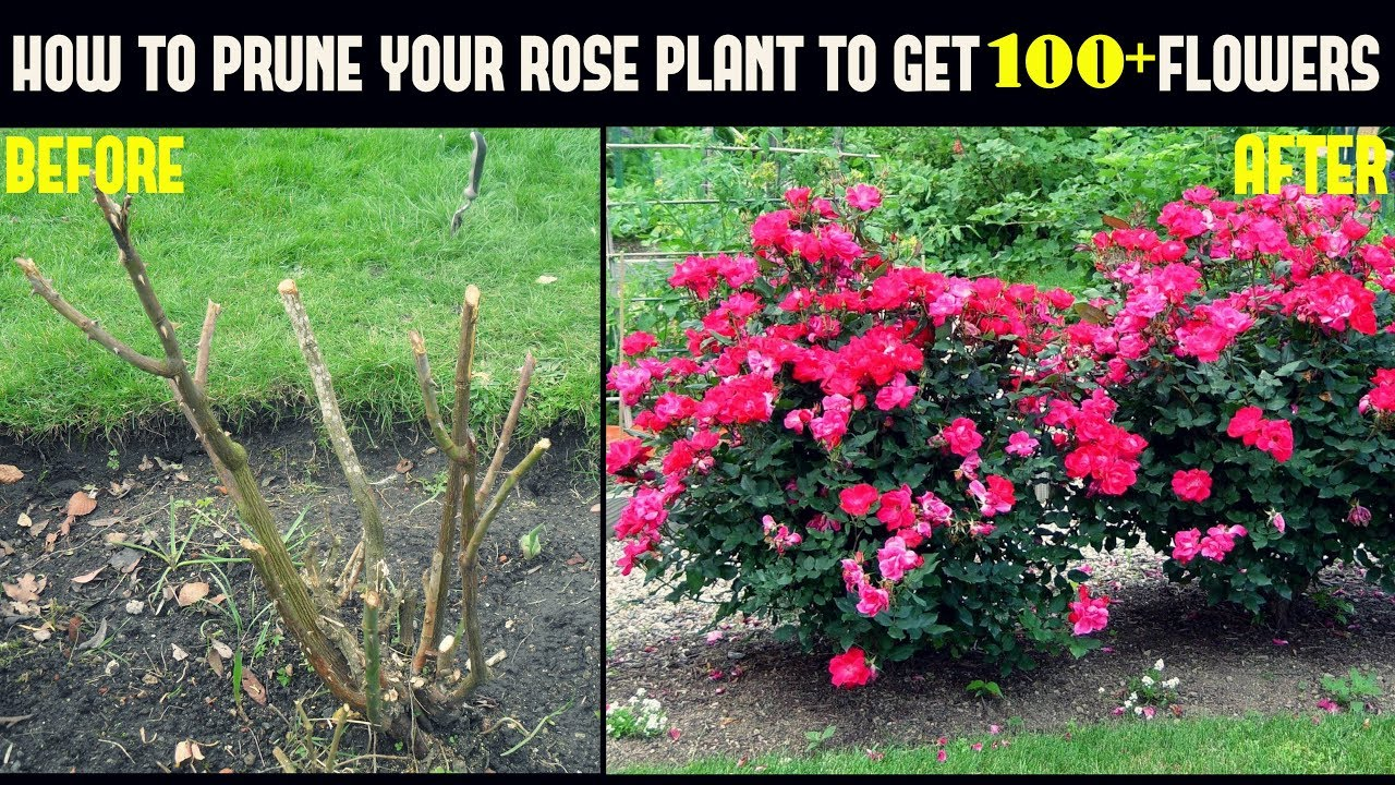 Do This And Get 500 More Flowers On Your Rose Plants With