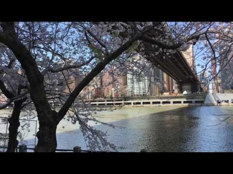 Visit Roosevelt Island to see cherry blossoms 4.13.2017