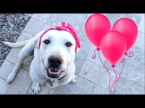 LABRADOR DAISY'S 3RD BIRTHDAY PARTY!!
