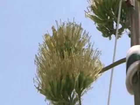 リュウゼツランの開花