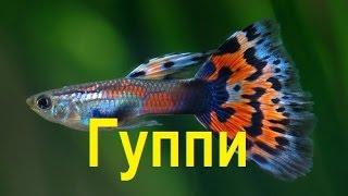 Рыбки Гуппи!