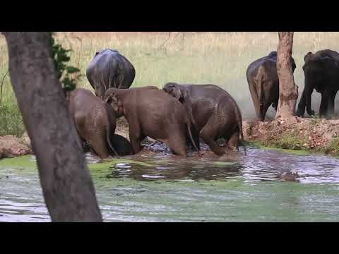 elephants swimming, kaccha waterhole, sambhar road, Corbett National Park, 2015
