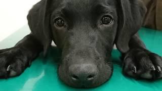 ラブラドールの子犬の成長を動画にしてまとめてみました。