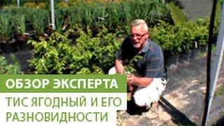 Смотреть видео Тис ягодный: фото, описание, посадка, уход, выращивание