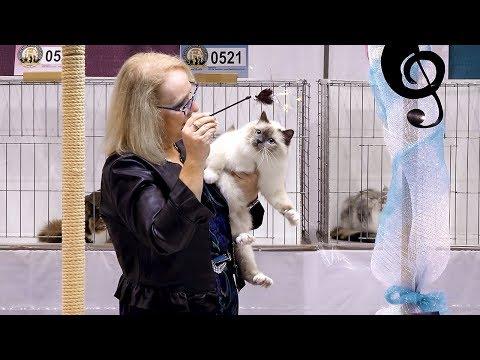 CFA International Cat Show 2018 - Birman kitten class judging