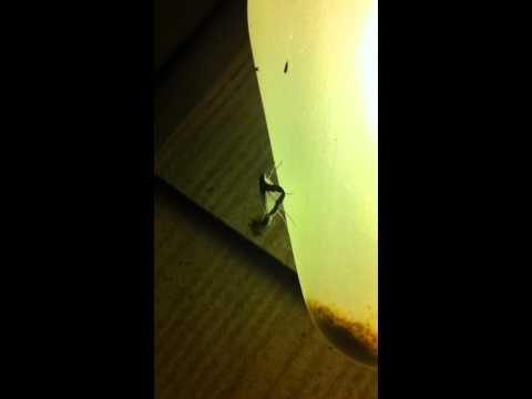 Moth waving around a hair pencil