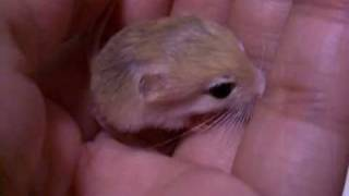 chirp of  Pigmy Jerboa baby