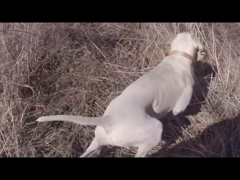 English Pointer Puppy at 3 months old