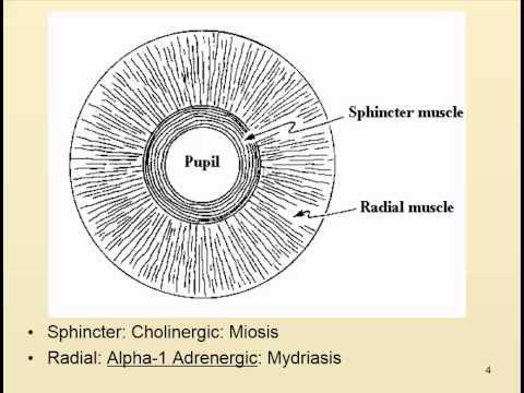 Autonomics and the pupil
