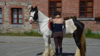 Glins Delight, Jument irish cob, 10 ans, extra-super, top rando