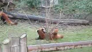 red panda s live @ chesterzoo 13th jan 08