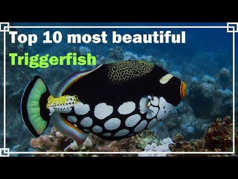 Top 10 Most Beautiful Triggerfish