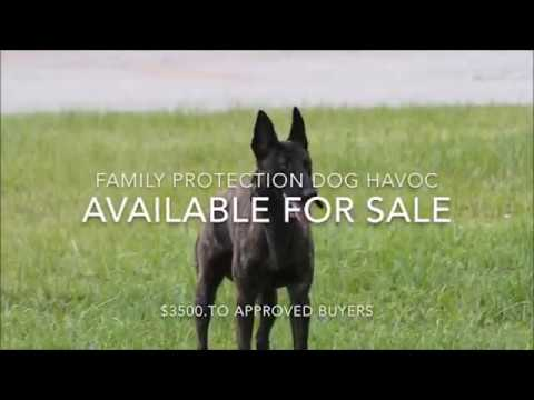 Dutch Shepherd for Sale - Family Protection Dog