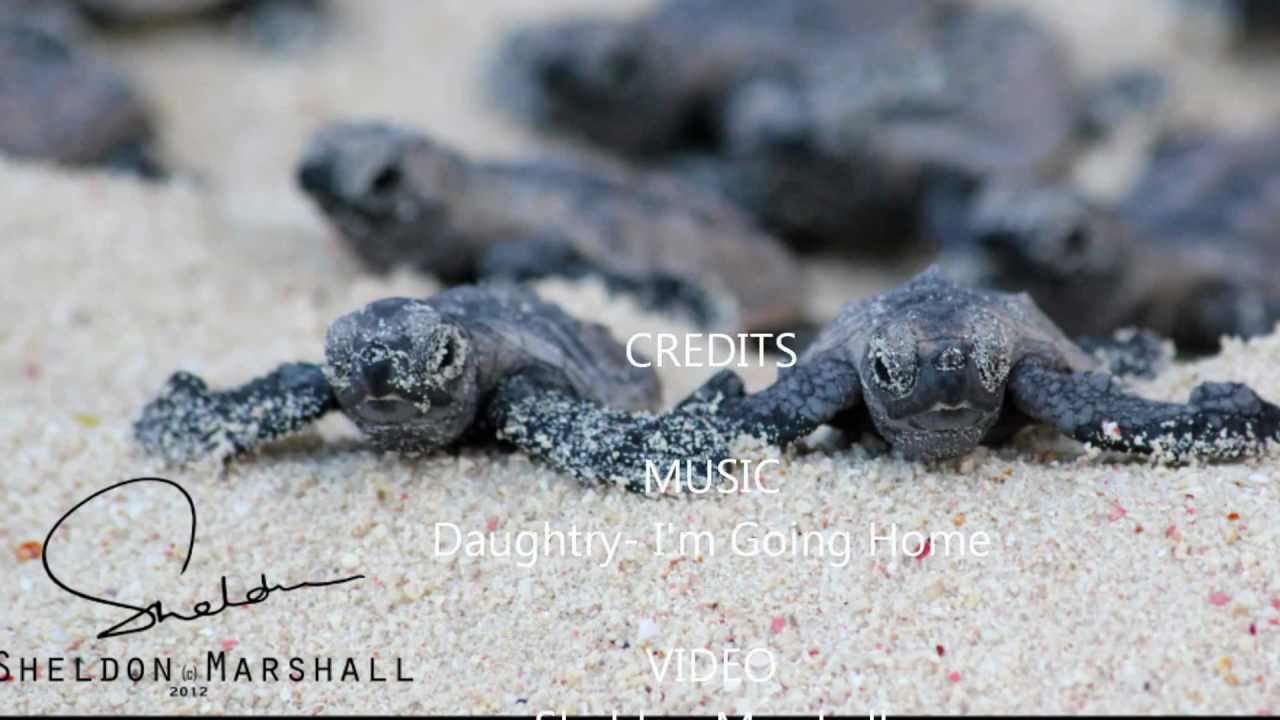 baby turtles march to the sea  quot i m going home home daughtry wiki home daughtry chords
