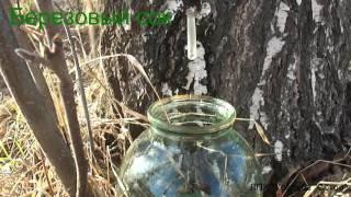 видео Заготовка березового сока на зиму