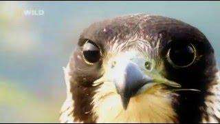 Созданные убивать Хищные птицы