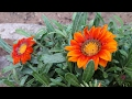 How to save Gazania in summers || 9 April,2017