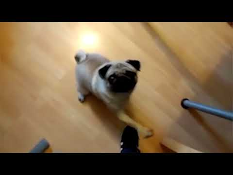 """Count Dankula's """"Nazi pug"""" video shown to a live audience"""