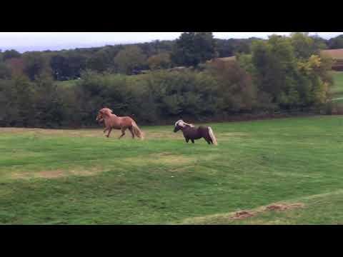 Magnifique Cheval Islandais à vendre en Bourgogne