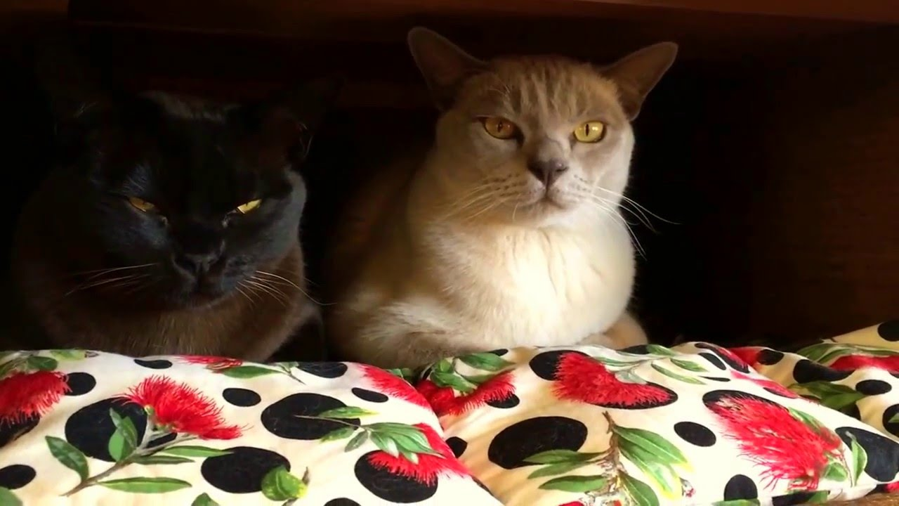 Burmese - The most relaxed cat breed - YouTube