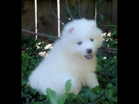 Bo the samoyed puppy at 6 weeks old and having a blast